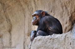 affen_westafrikanischer_schimpanse_4518