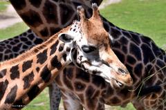 giraffe_rothschildgiraffe_4829
