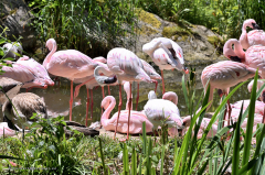 flamingo_zwergflamingo_4739