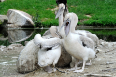tiere_voegel-krauskopf-pelikan-022