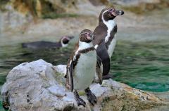 tiere_voegel-pinguine-humboldt pinguine-002