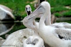 tiere_voegel-krauskopf-pelikan-024