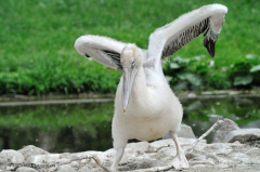 tiere_voegel-krauskopf-pelikan-030